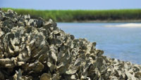 An oyster reef in the Baruch Marine Field Laboratory on the South Carolina coast