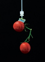 The soft adhesion-based gripping system holds a pair of cherry tomatoes weighing 41 grams. Photo courtesy of Sukho Song