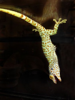 UCR Researchers Test Limits of Gecko Adhesion