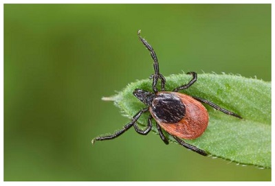 Research Says Tick Saliva can be the Potential Medical Adhesive